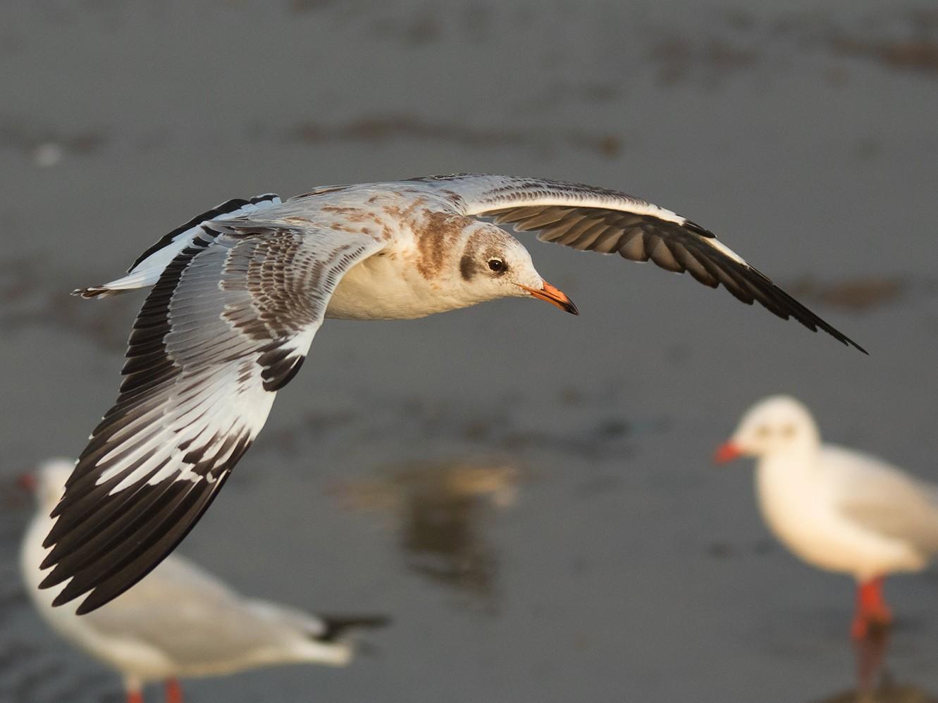 Brown-headed Gull - Ayuwat Jearwattanakanok