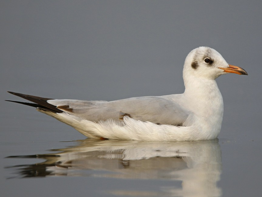 Brown-headed Gull - Subhadra Devi