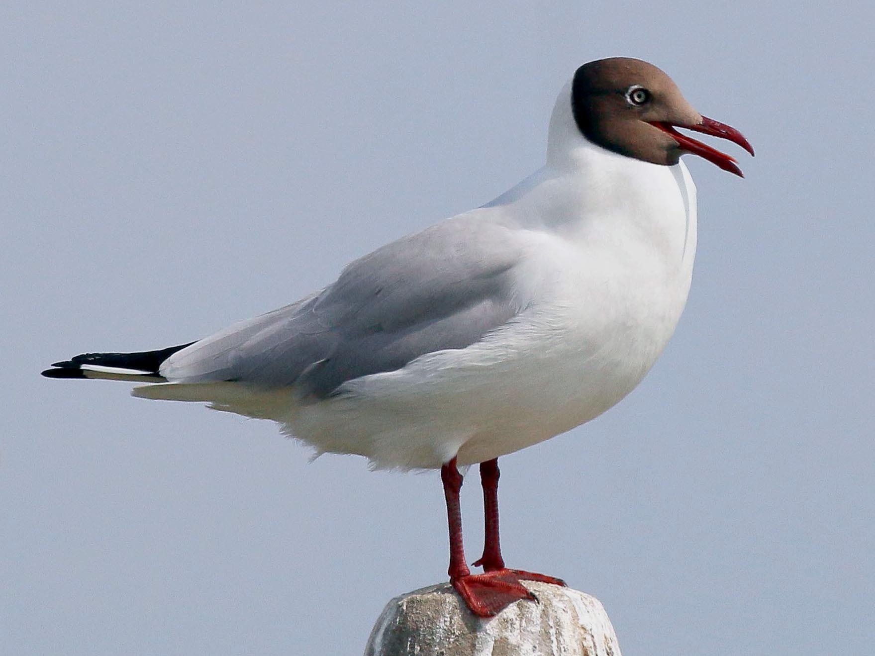Brown-headed Gull - Neoh Hor Kee
