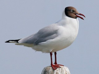 - Brown-headed Gull