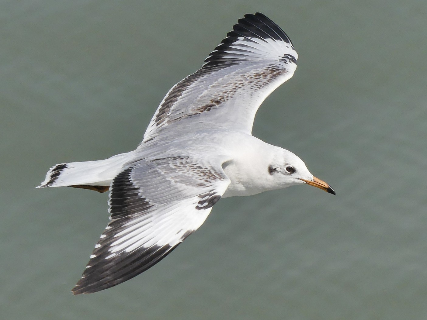Brown-headed Gull - Mike Prince