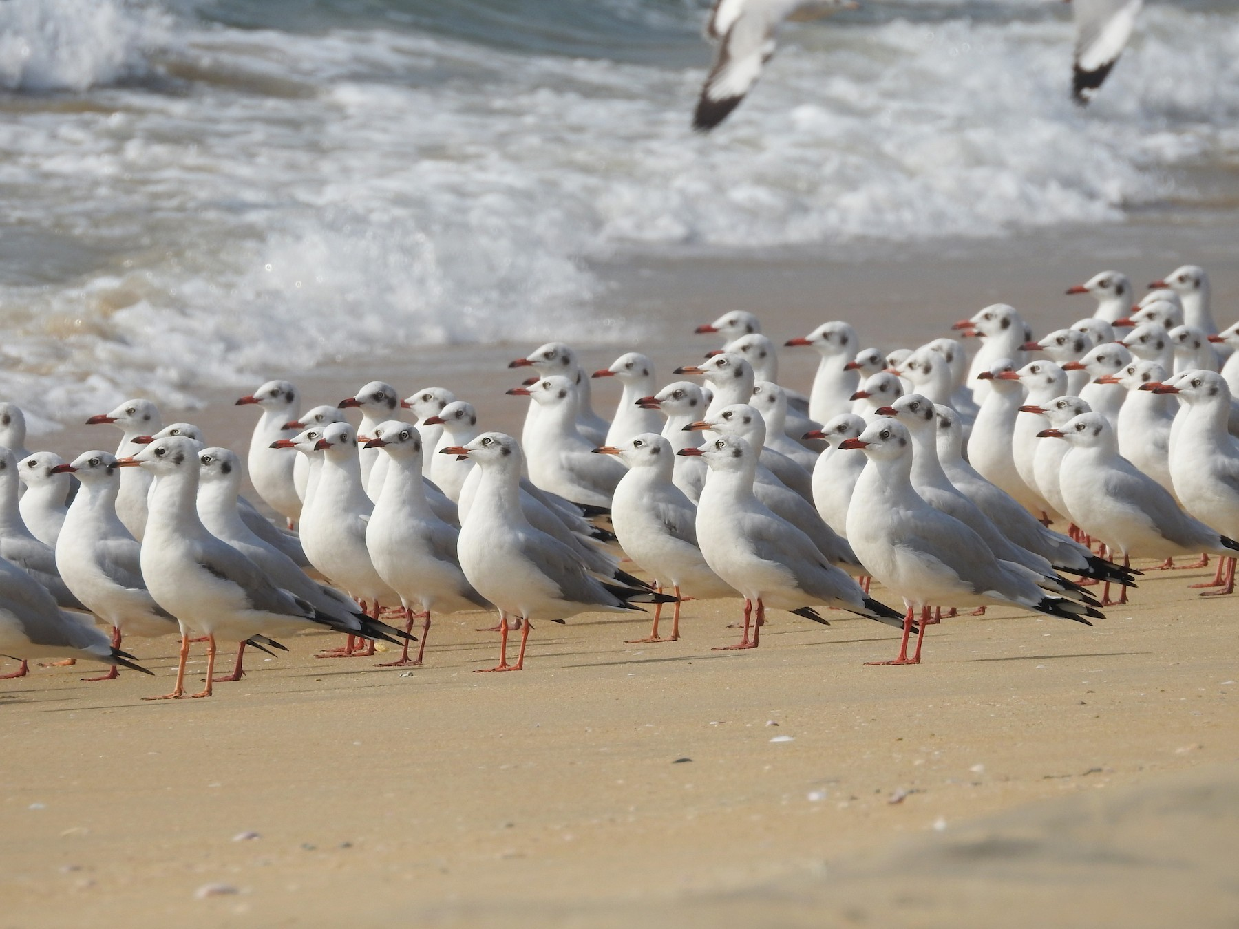 Brown-headed Gull - Manoj Karingamadathil