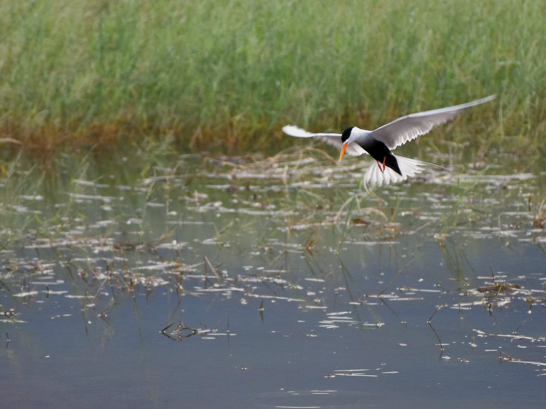 Black-bellied Tern - Rajesh Radhakrishnan