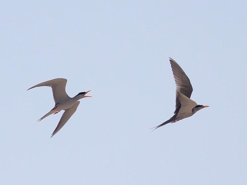 Black-bellied Tern - Robert Tizard