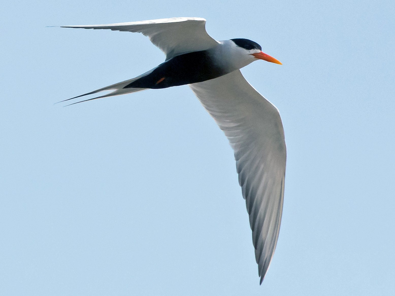 Black-bellied Tern - Prashant Tewari