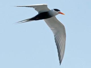 - Black-bellied Tern
