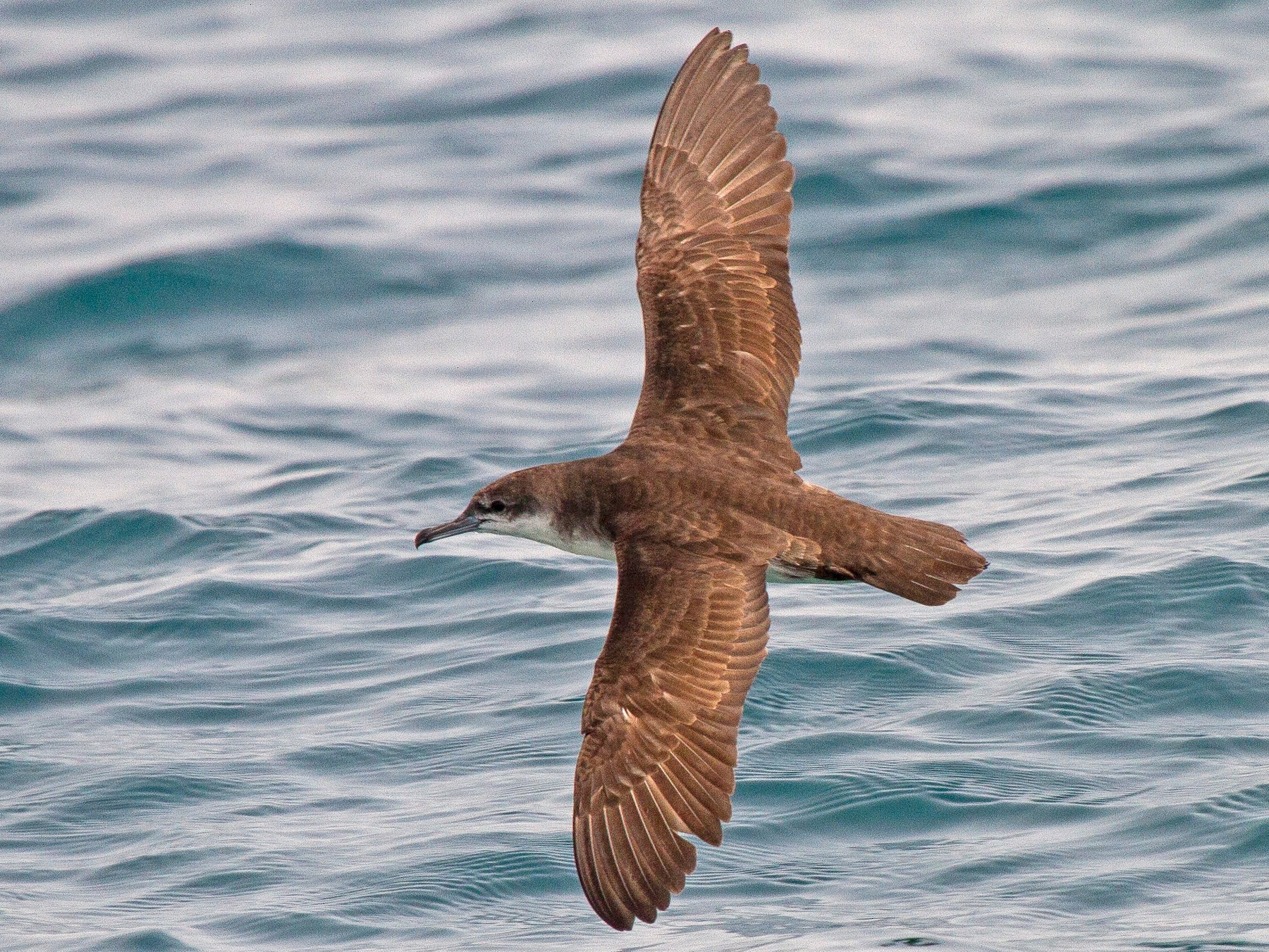 Persian Shearwater - Tommy Pedersen
