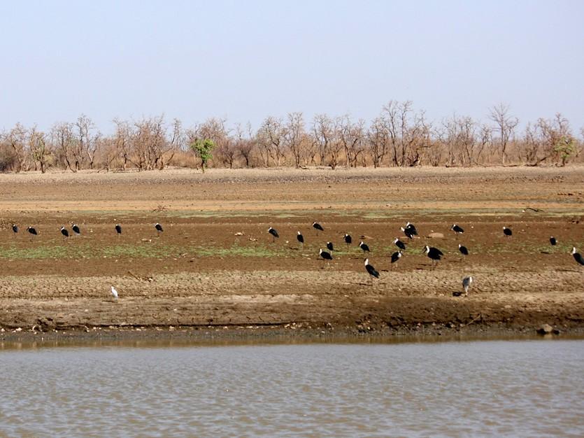 Woolly-necked Stork - Rahul Wakare