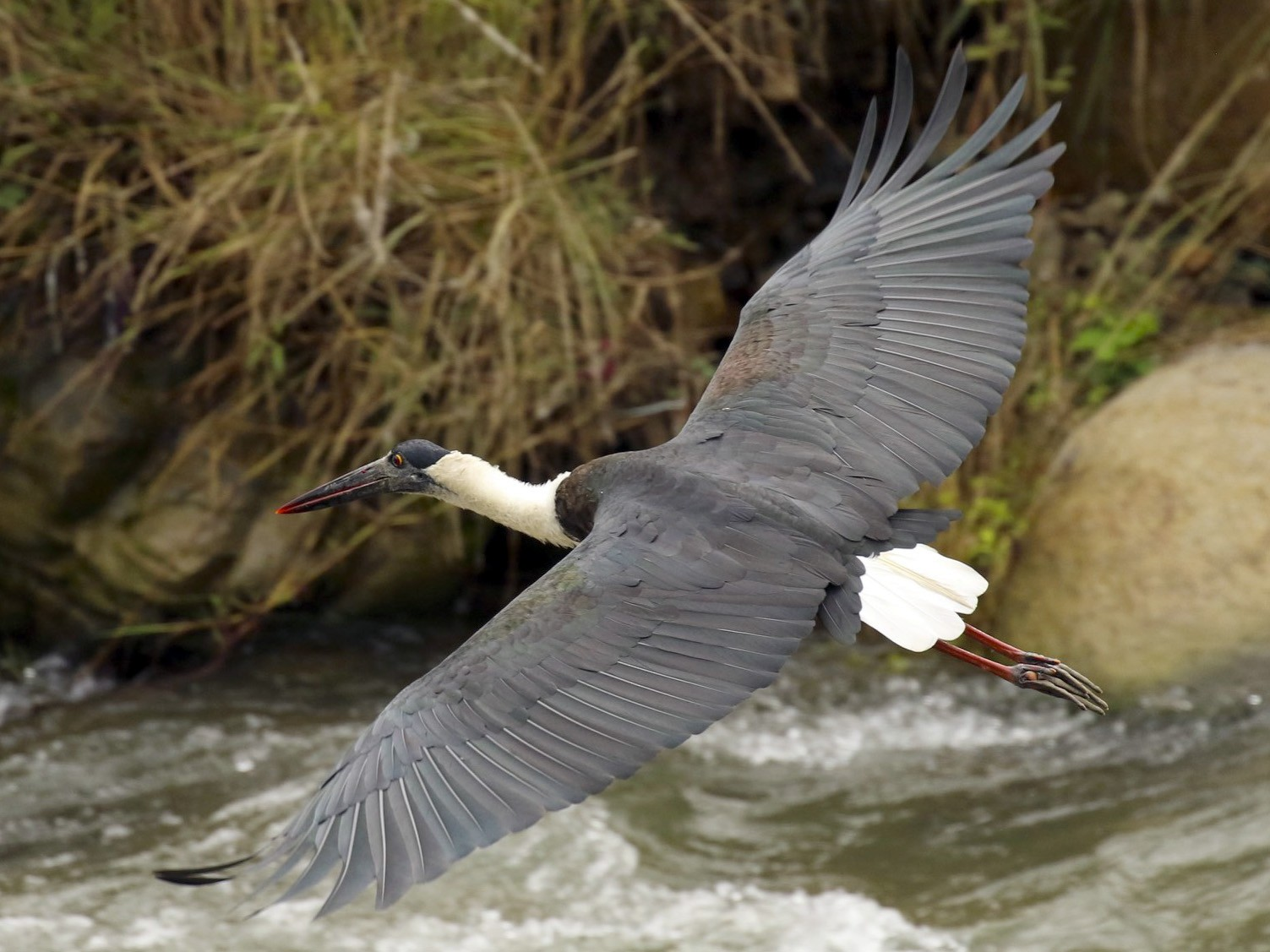 Woolly-necked Stork - Knut Hansen