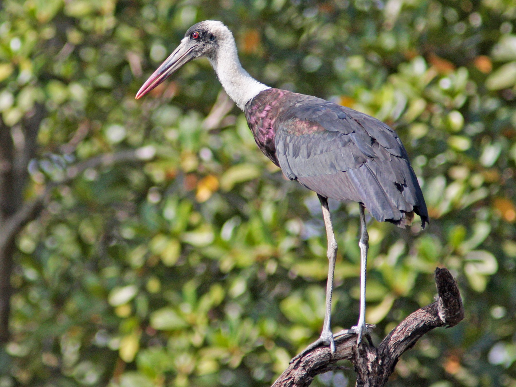 Woolly-necked Stork - Ray Scally