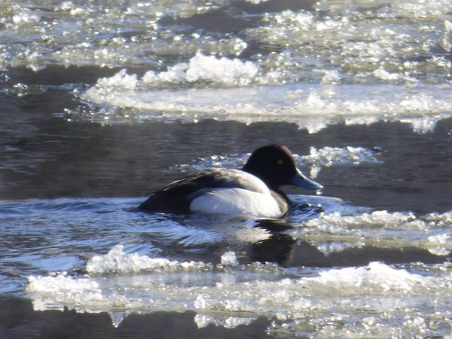 Greater Scaup