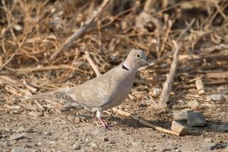 Eurasian Collared-Dove, ML143184771