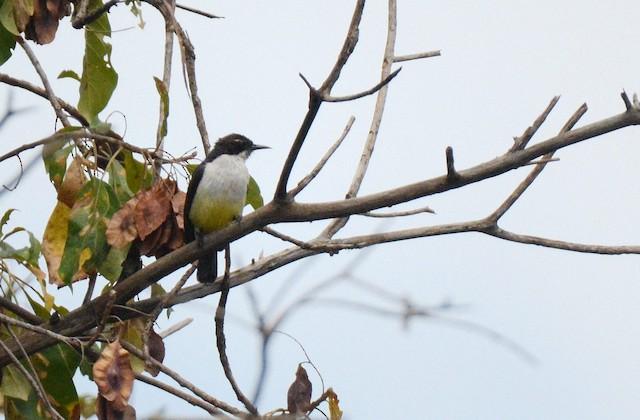 Western Violet-backed Sunbird (Northern)
