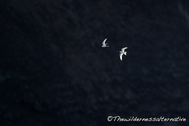 White Tern (Pacific)