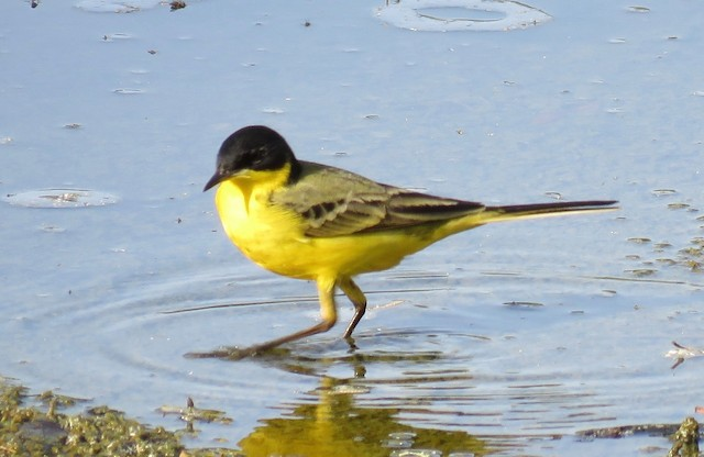 ©Brian James - Western Yellow Wagtail (feldegg)
