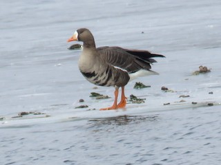 Greater White-fronted Goose, ML143549901