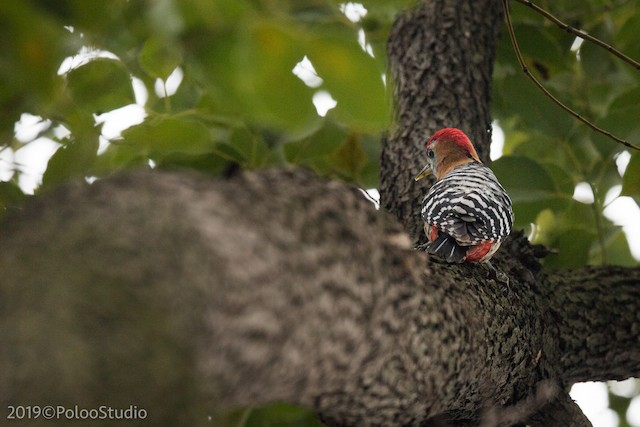 Rufous-bellied Woodpecker