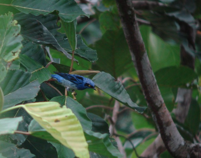 White-bellied Dacnis