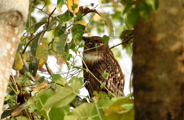 ©Anonymous eBirder - Brown Fish-Owl