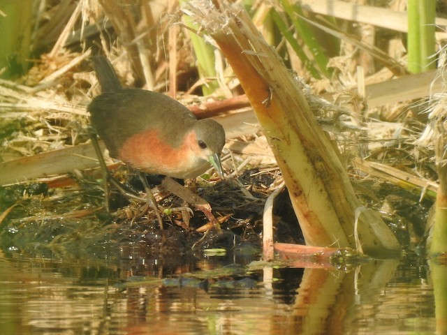 Rusty-flanked Crake