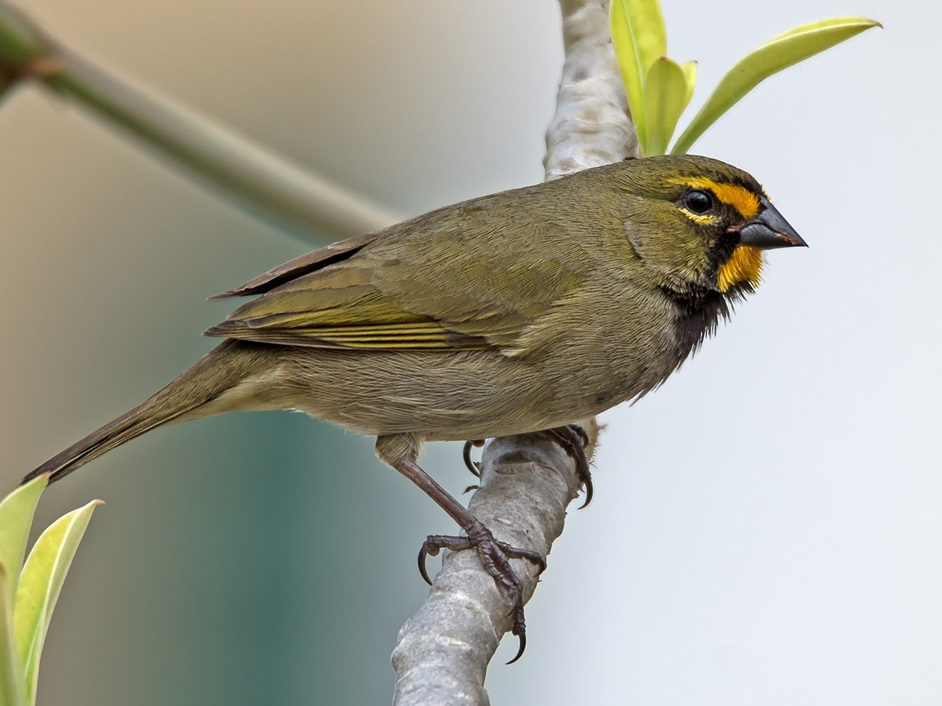 Yellow-faced Grassquit - Denny Swaby