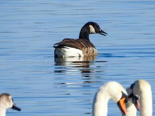 Canada Goose, ML143838831