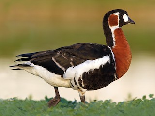 - Red-breasted Goose