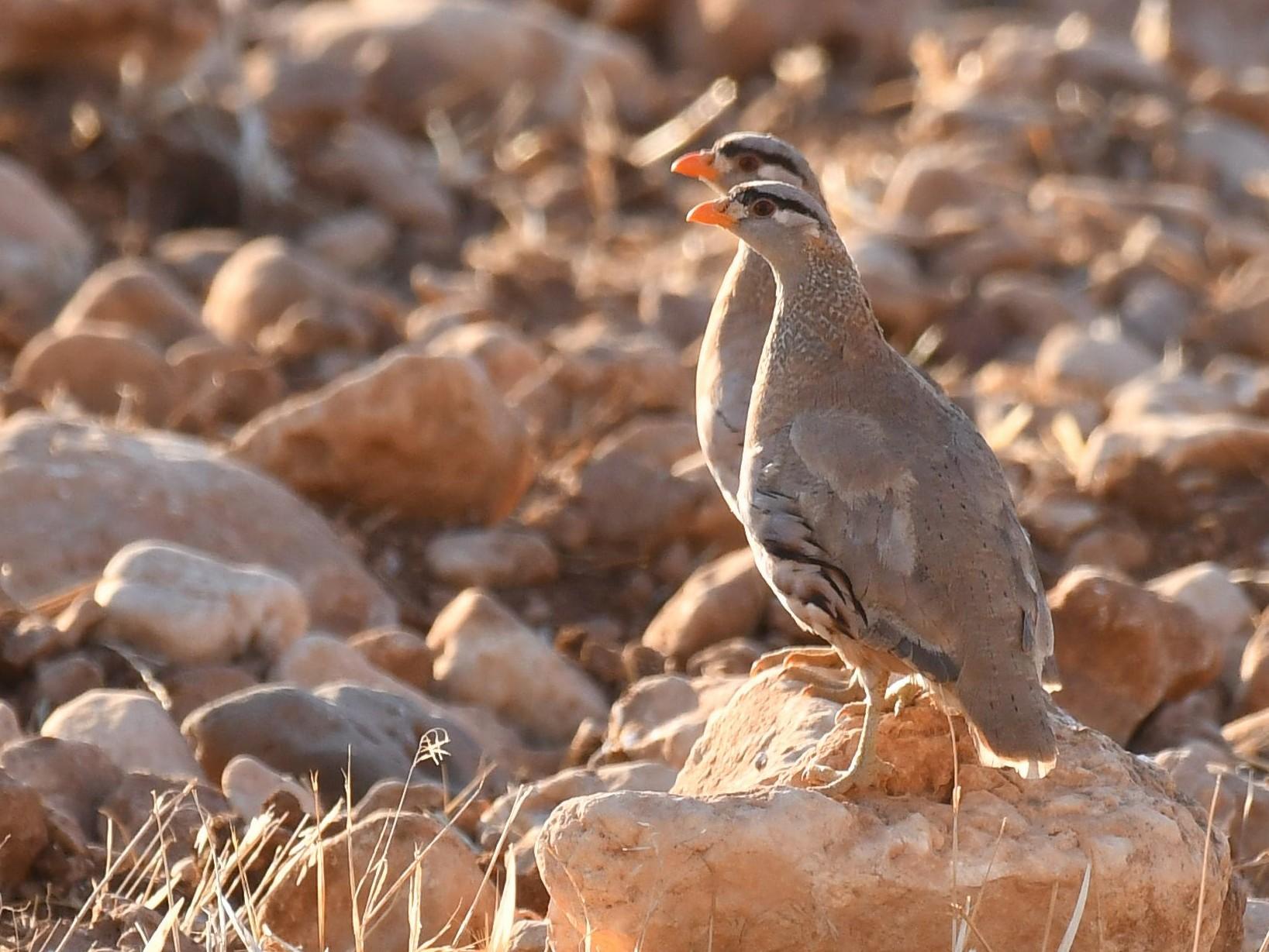 See-see Partridge - Ogün Aydin