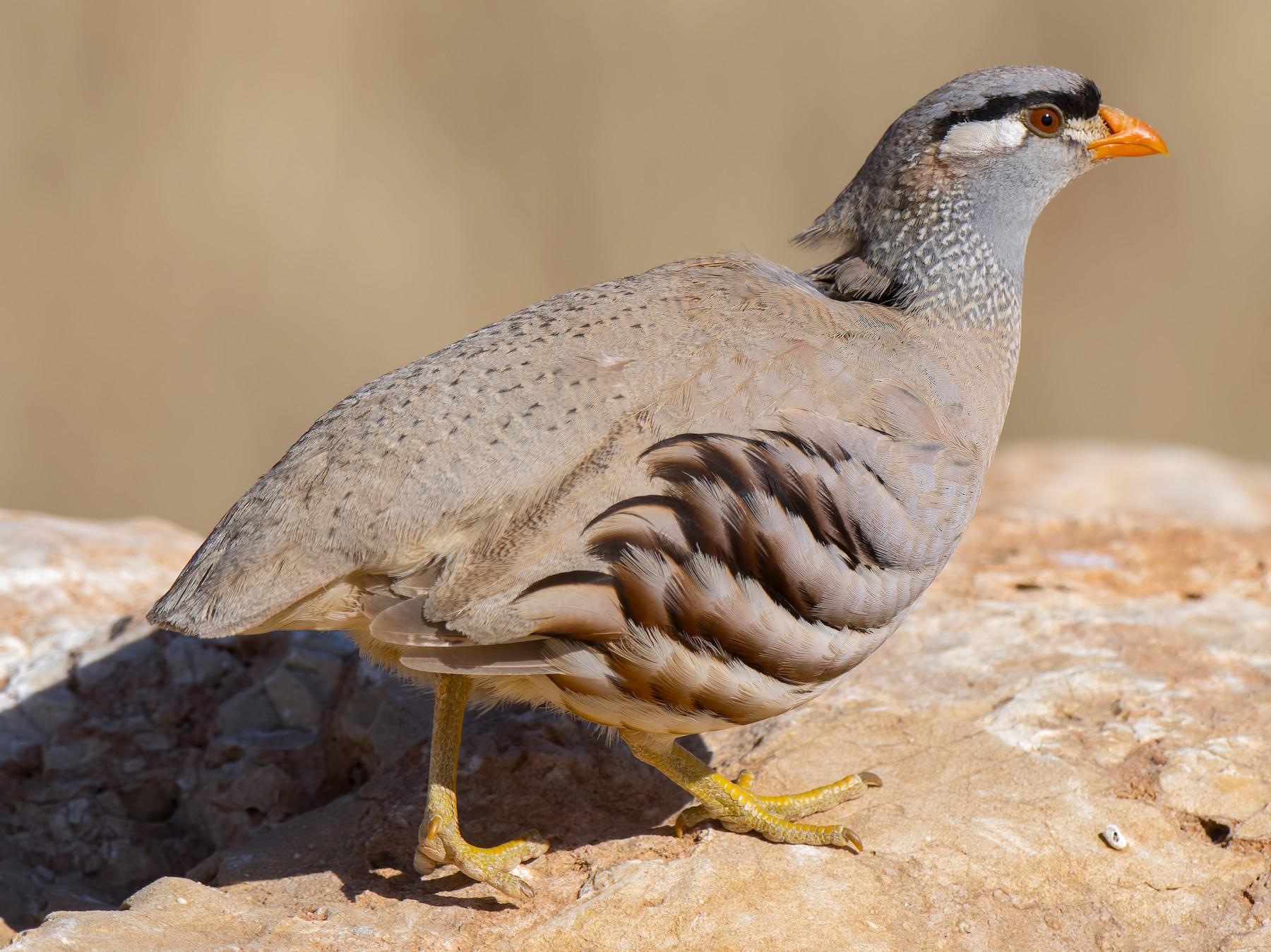 See-see Partridge - Ferit Başbuğ