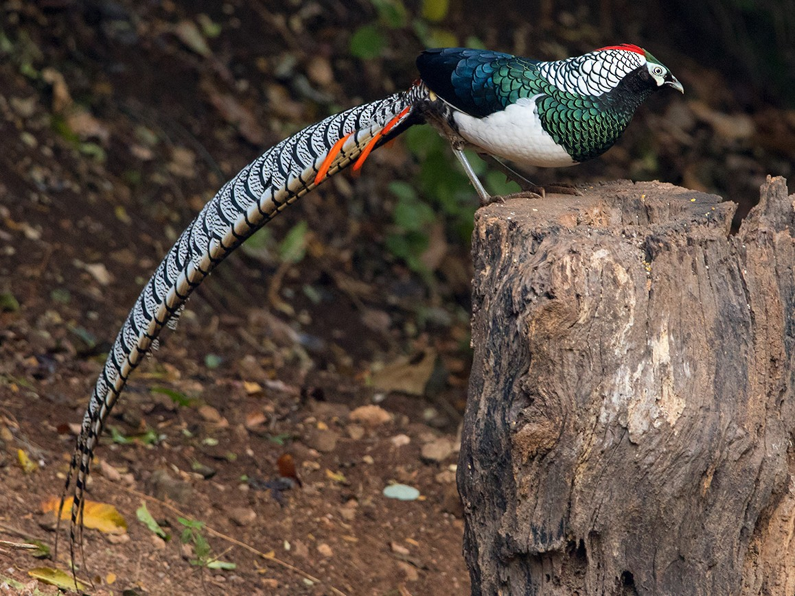 Lady Amherst's Pheasant - Ayuwat Jearwattanakanok