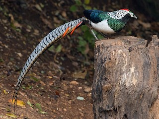 - Lady Amherst's Pheasant