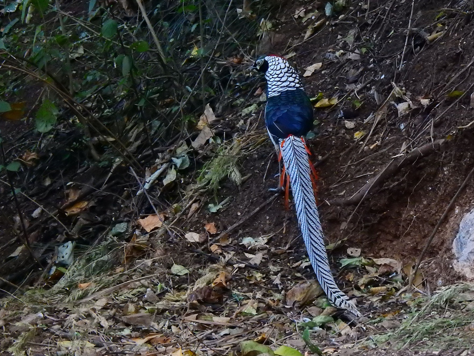 Lady Amherst's Pheasant - Liao Tzu-Chiang