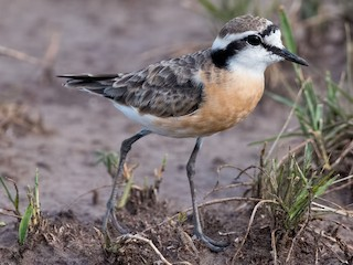 - Kittlitz's Plover