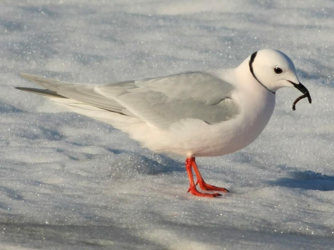 Ross's Gull - eBird