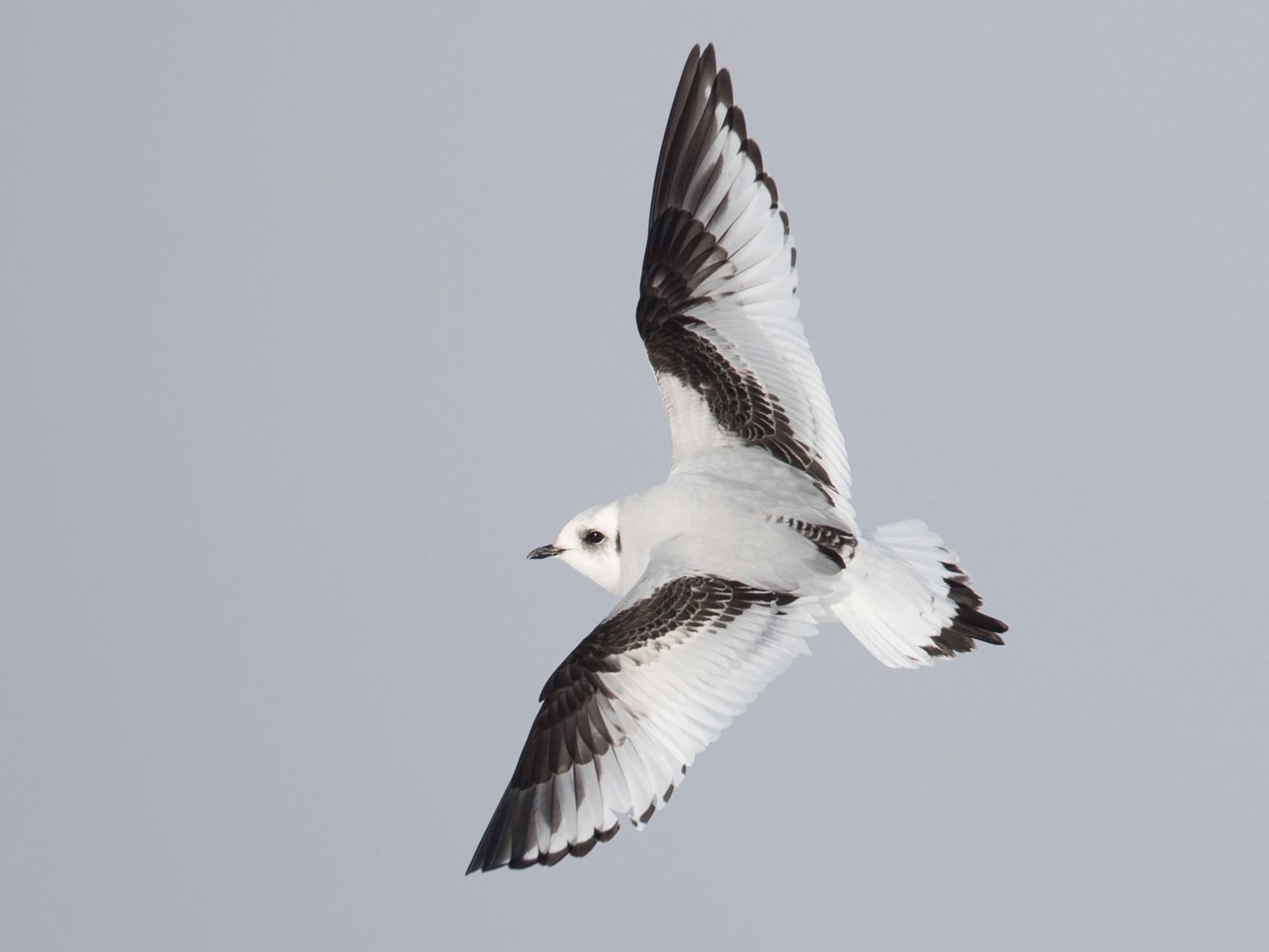 Ross's Gull - Ian Davies
