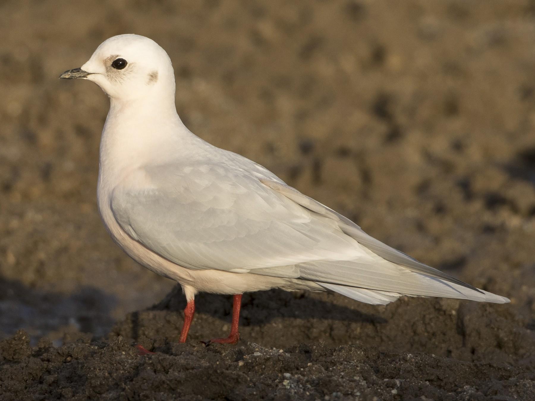 Ross's Gull - Brian Sullivan
