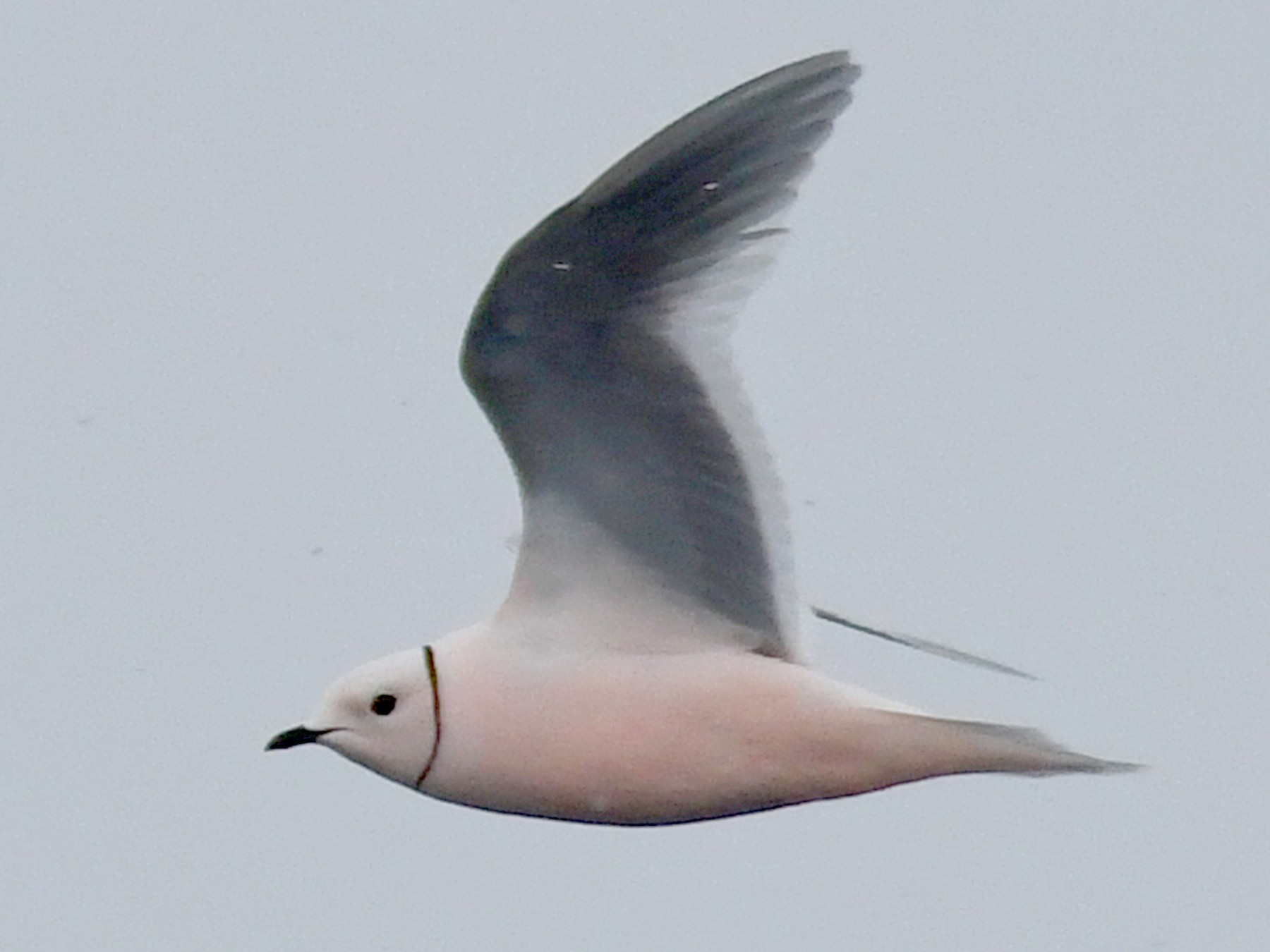 Ross's Gull - Anonymous eBirder