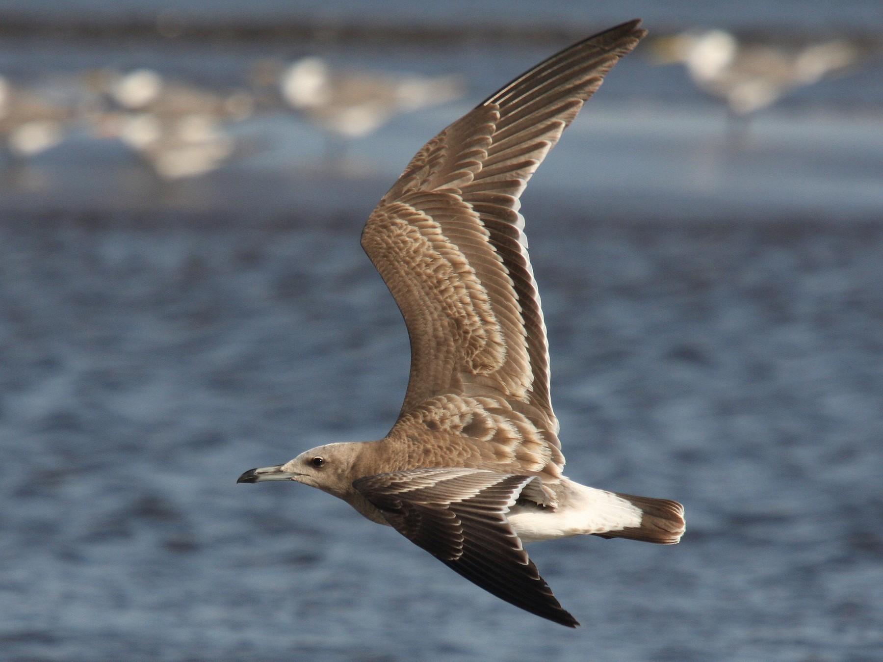 Sooty Gull - Christoph Moning