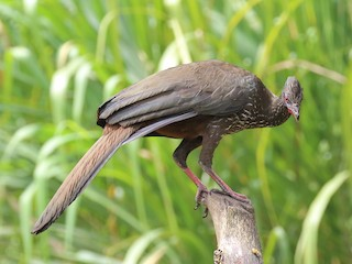 Crested Guan, ML143884971