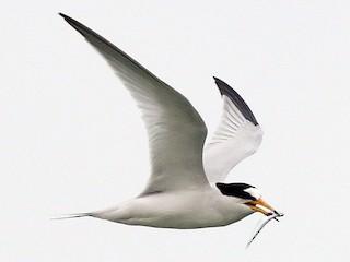 - Saunders's Tern