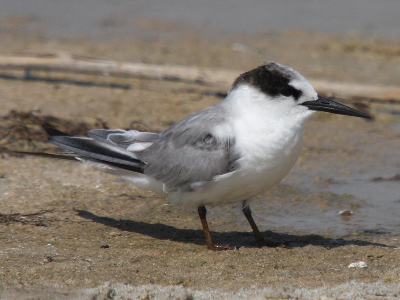 Saunders's Tern - Christoph Moning