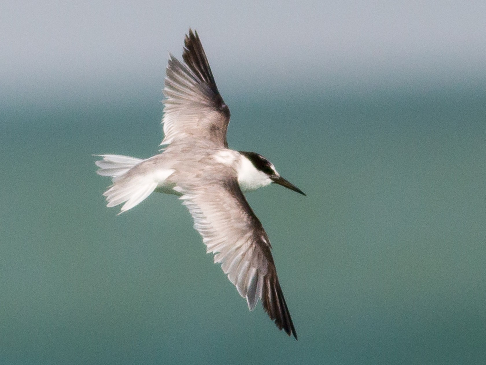 Saunders's Tern - Markus Craig