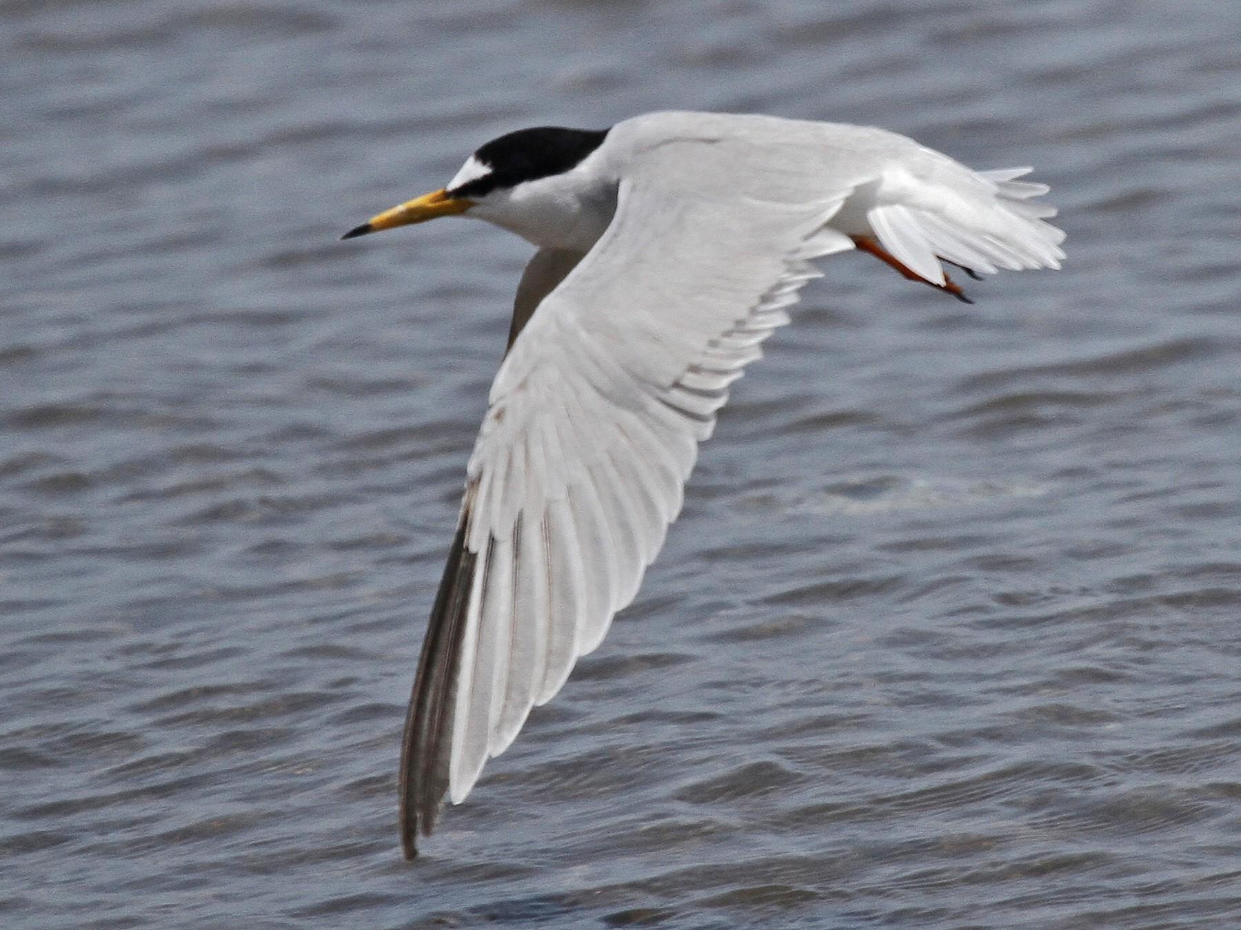Saunders's Tern - Robert Tizard