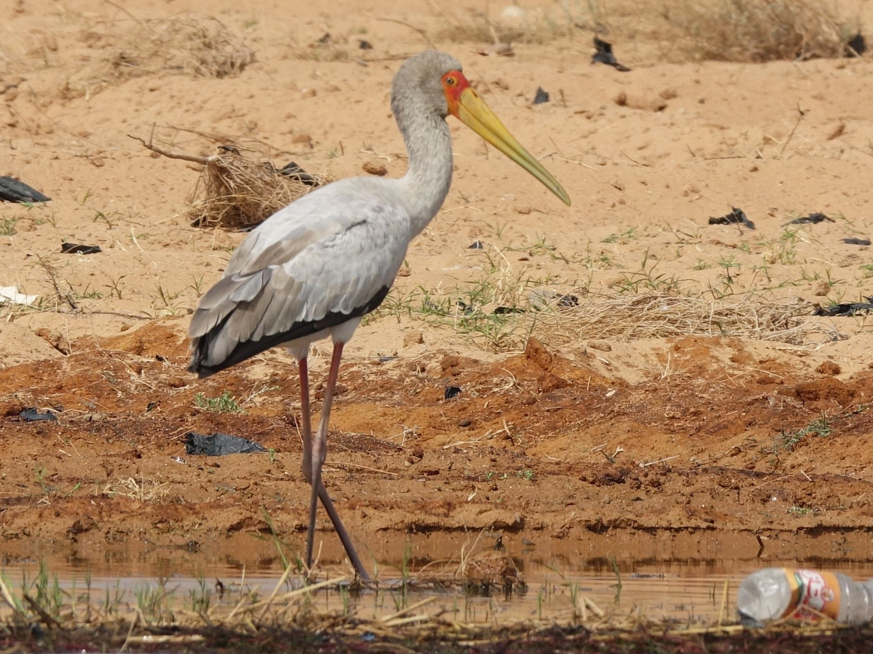 Yellow-billed Stork - Daniel König