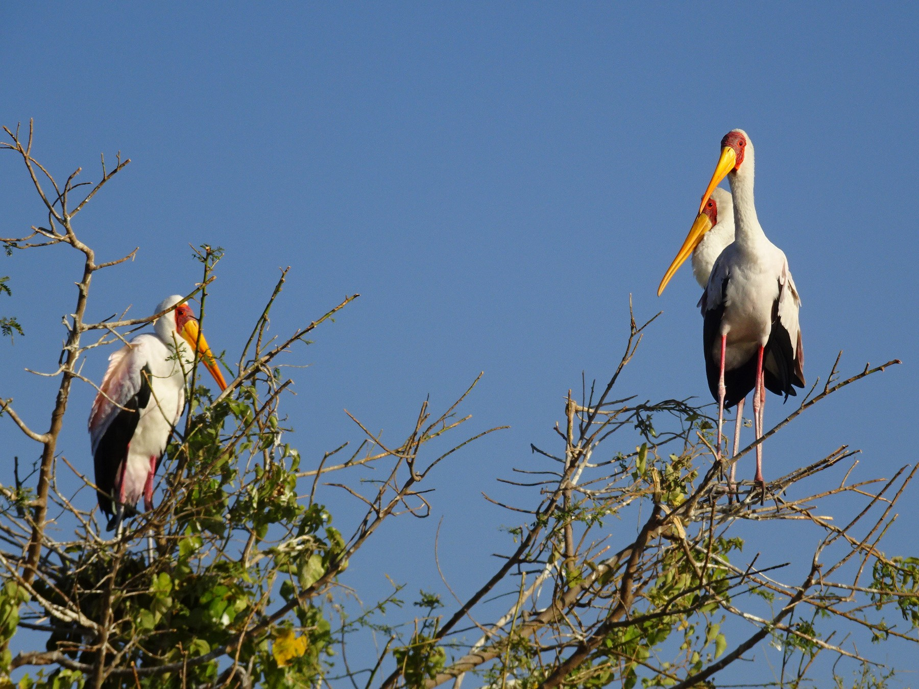 Yellow-billed Stork - T I