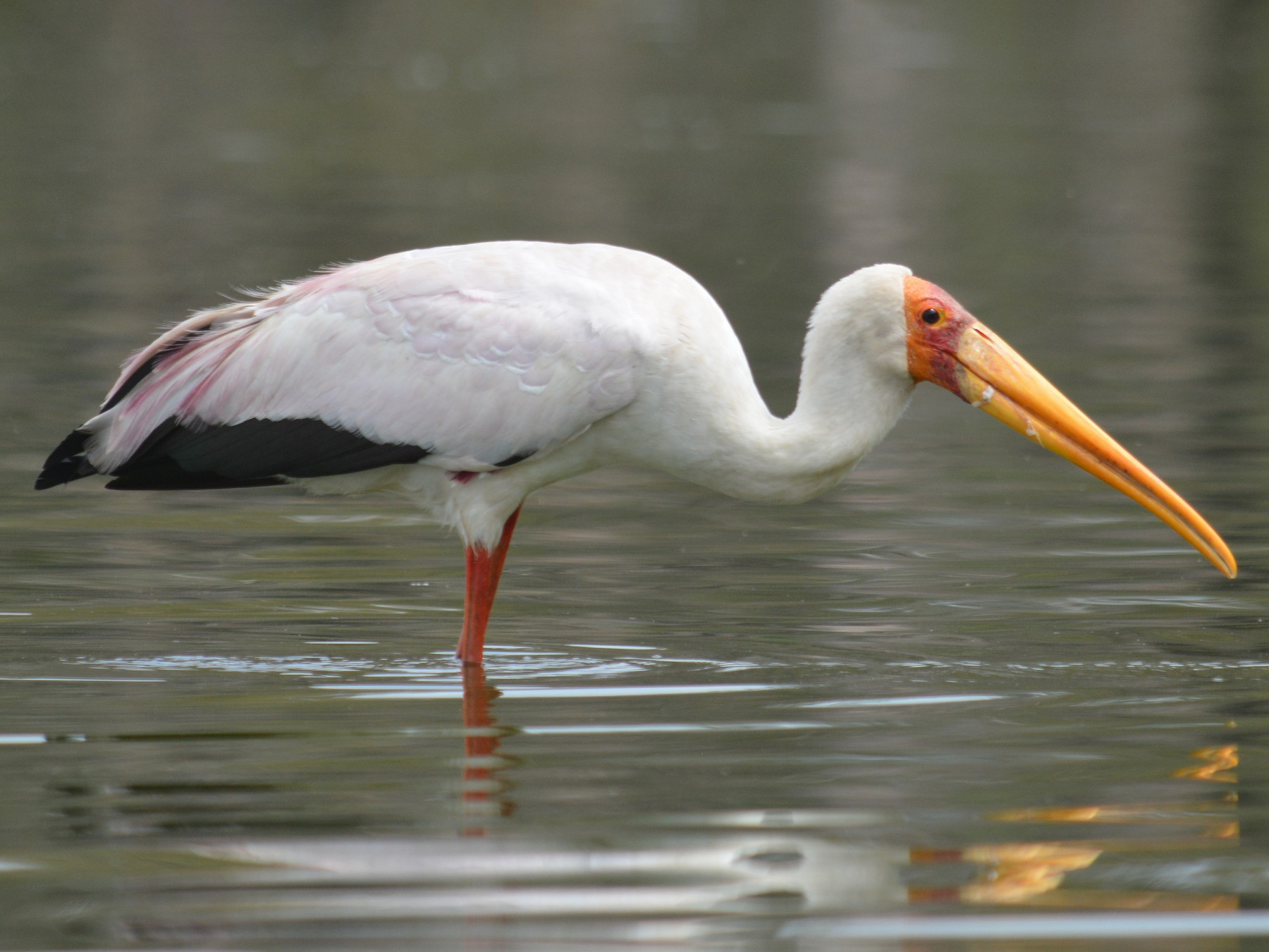 Yellow-billed Stork - Bart Scott