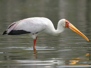 - Yellow-billed Stork