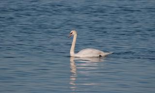 Mute Swan, ML143958771