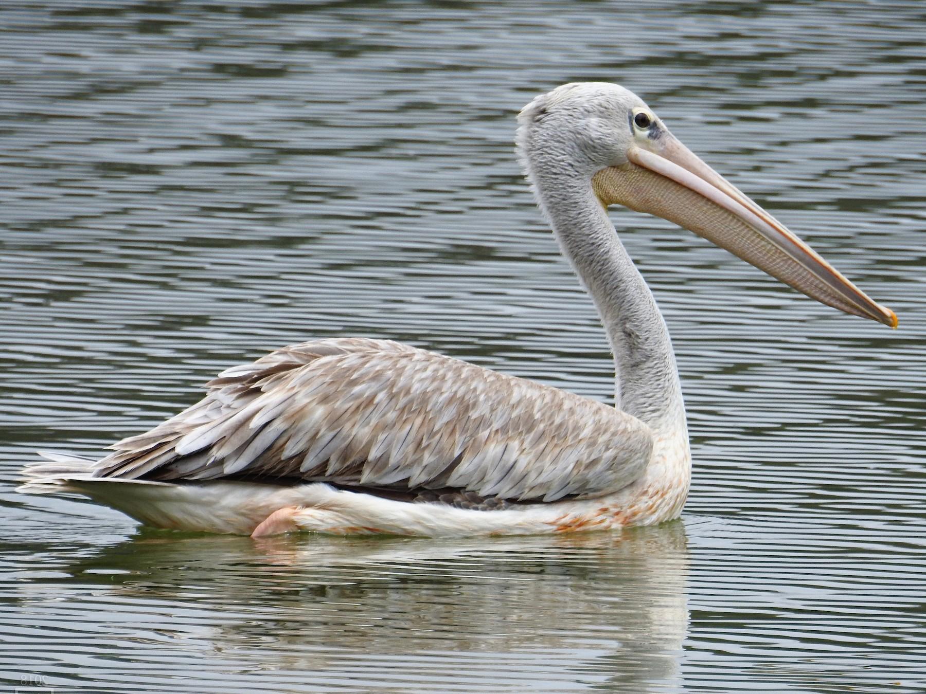 Pink-backed Pelican - Joshua Smolders