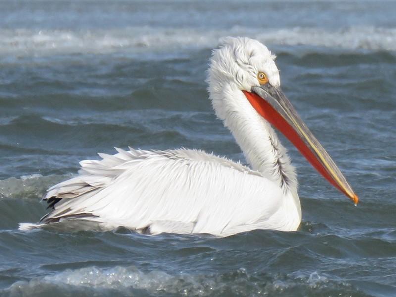 Dalmatian Pelican - Manu Santa-Cruz